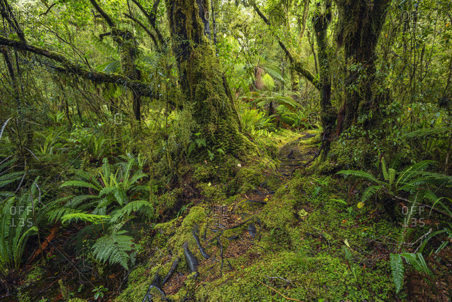 New Zealand- Southland- Lush green rainforest in Tutoko Valley
