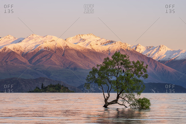 New Zealand- Otago- Lake Wanaka and Wanaka Tree at dawn with snowcapped mountains in background
