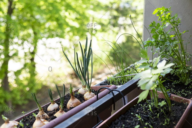 Welsh onions(Alliumfistulosum)and various herbs growing in small balcony garden