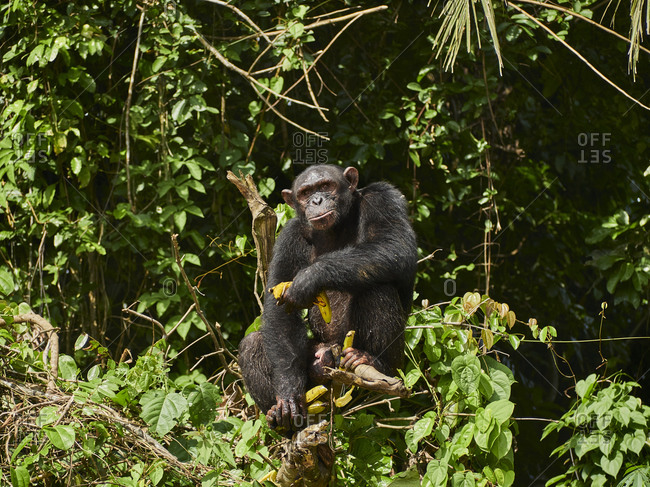 Cameroon- Pongo-Songo- Chimpanzee (Pan troglodytes) with bananas sitting on tree branch