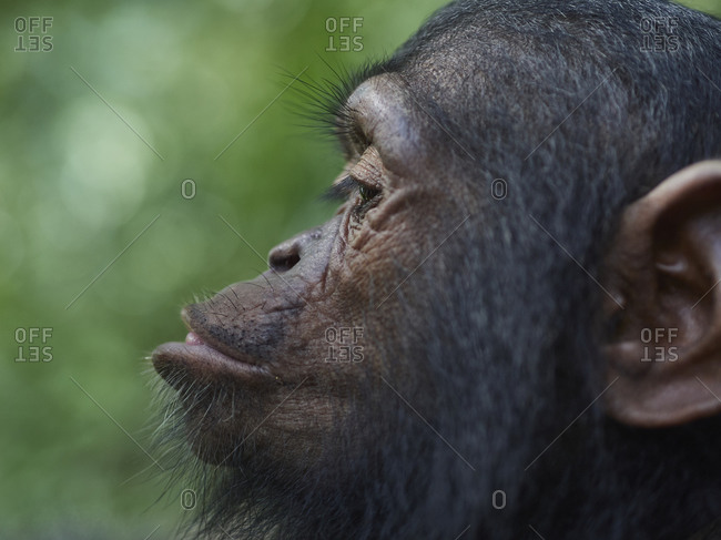 Cameroon- Pongo-Songo- Profile of young of Chimpanzee (Pan troglodytes)