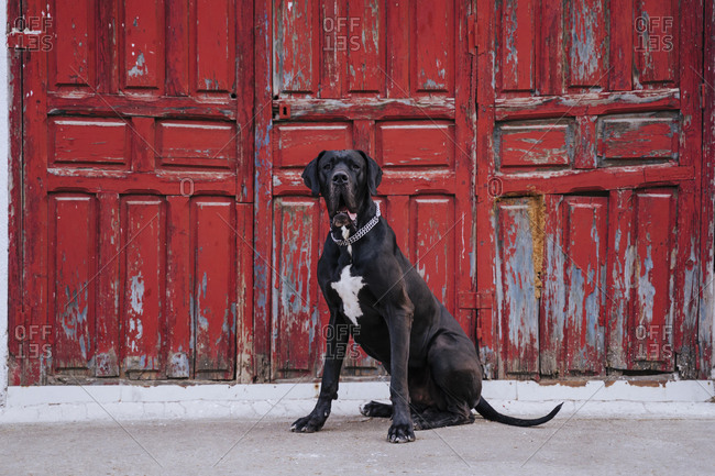 Portrait of dog sitting in front of an old red wooden door