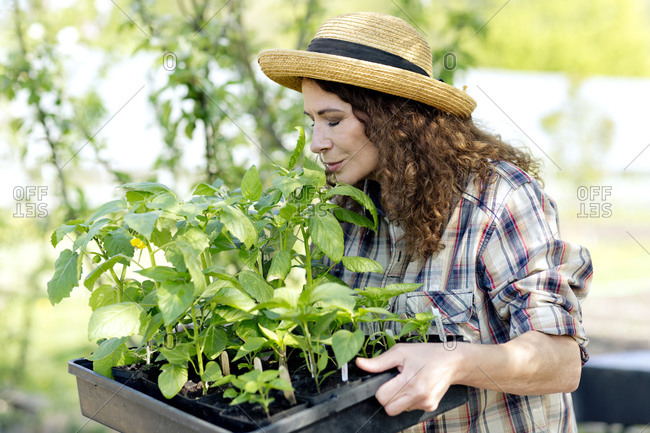 Mature female farmer smelling green plants on tray at community garden