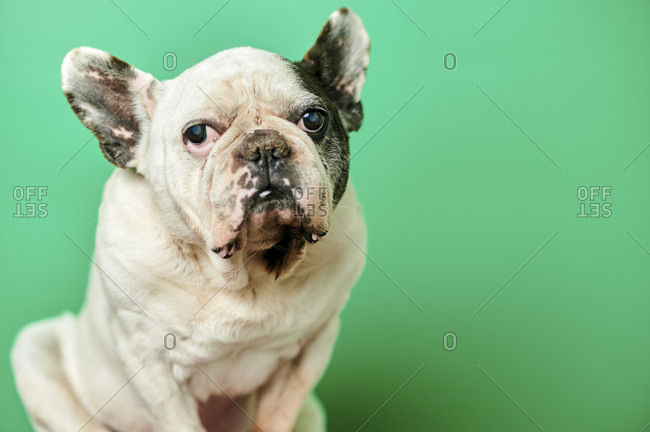 Studio portrait of white French Bulldog
