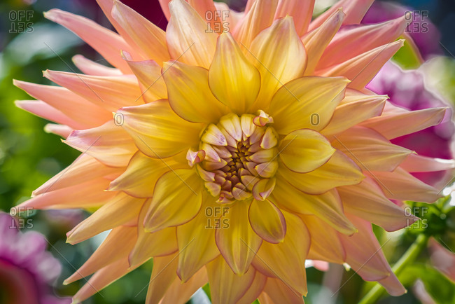 Yellow and Pink Dahlia close-up