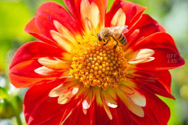 Close-up of a Honeybee on a  red Collarette Dahlia