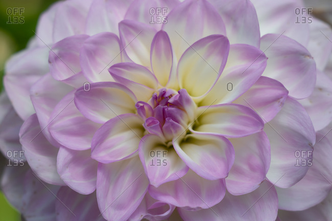 Violet and yellow Dahlia close-up