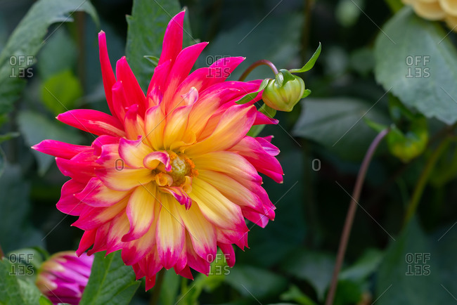 Yellow and red Dahlia in full bloom