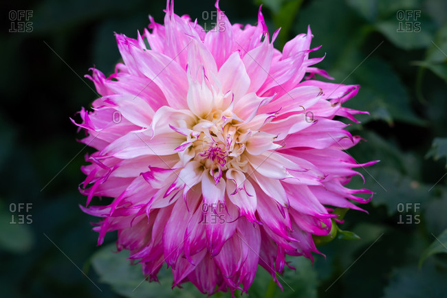 Pink and white  informal Decorative Dahlia in full bloom