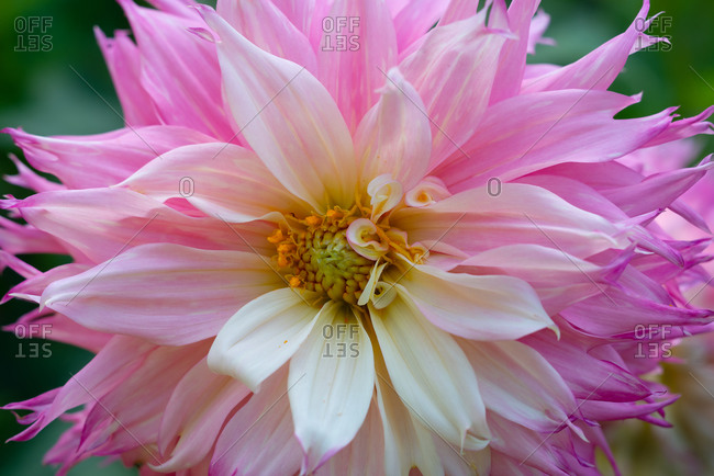 Pink and white Decorative Dahlia close-up