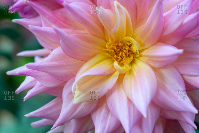 Pink and yellow Dahlia in full bloom close-up