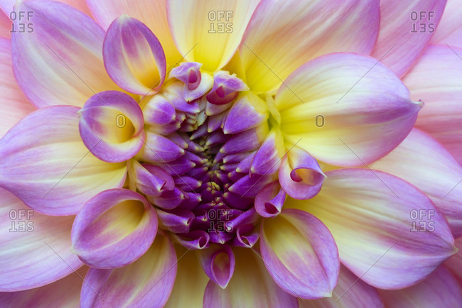Purple and yellow Dahlia close-up