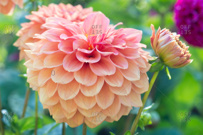 Pink and orange Ball Dahlia in full bloom
