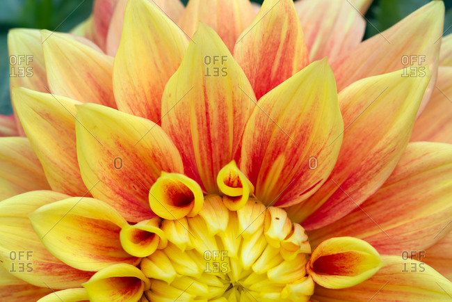 Yellow and red Dahlia close-up