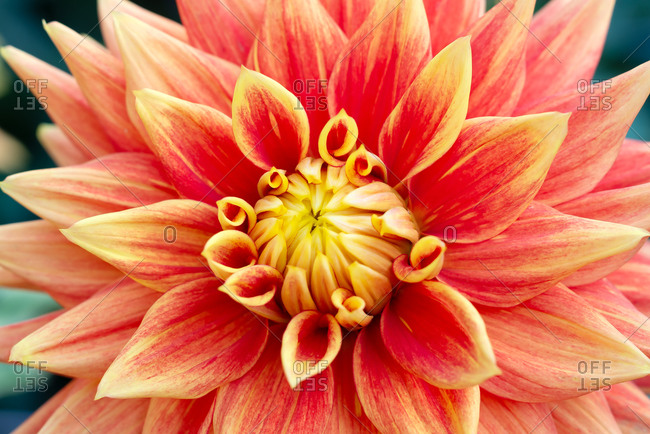 Red and yellow Dahlia close-up