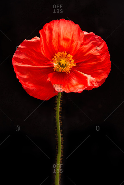 Studio Close-up of a papery Red Poppy flower on black background