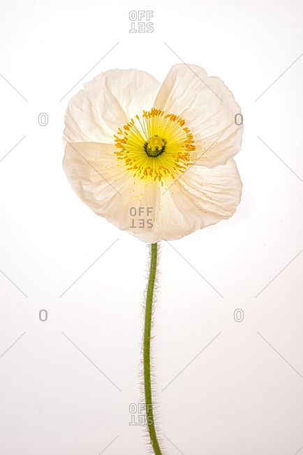 Studio Close-up of a papery White Poppy flower