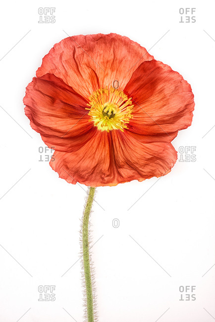 Studio Close-up of a papery Red Poppy flower on white background