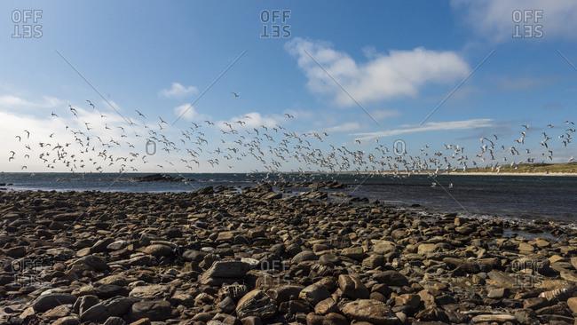 Birds flying at Couta Rocks, Tasmania, Australia