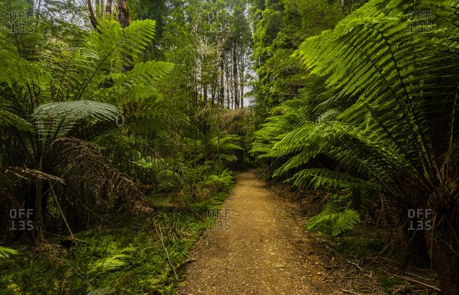 Lush ferns surrounding trail to Montezuma Falls, Tasmania, Australia