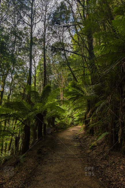 Trail to Montezuma Falls surrounded by lush foliage, Tasmania, Australia