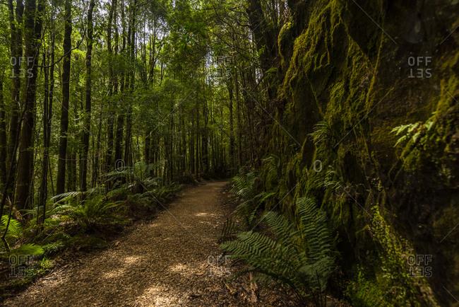 Lush foliage surrounding trail to Montezuma Falls, Tasmania, Australia