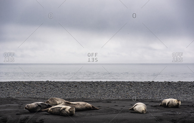 Grey seals (halichoerus grypus) lying on black sand beach,  Jokulsa loni, Iceland