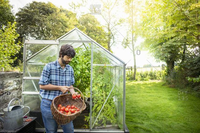Gardener picking ripe Crimson Crush tomatoes in late summer in greenhouse of organic vegetable garden