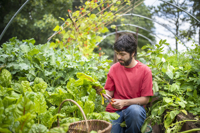 Gardener picking swiss chard leaves in organic vegetable garden