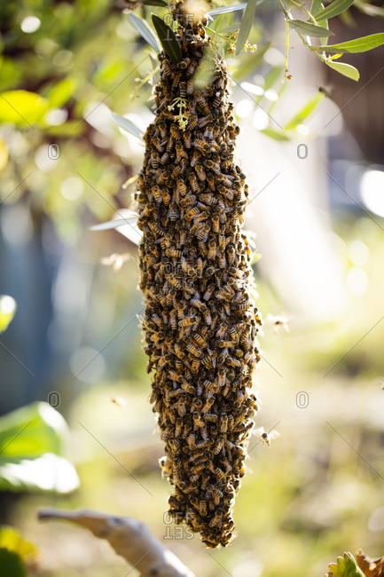 Swarm of bees hanging on tree