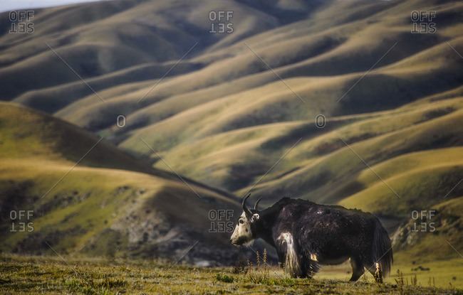 A yak, the symbol of Tibet, in the meadows of the Tibetan Plateau