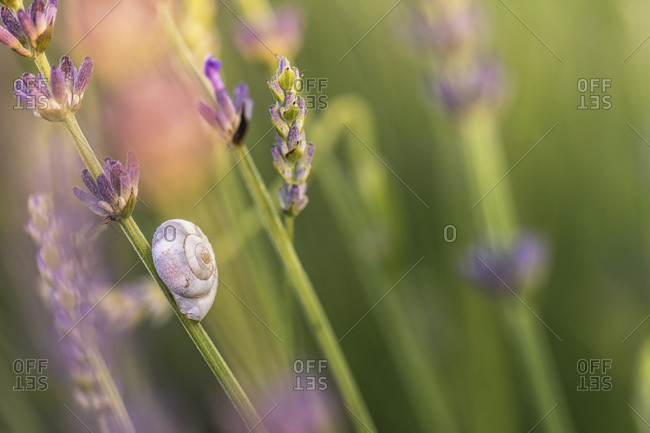 Macro shot of a snail shell in lavender field, Provence, southern France