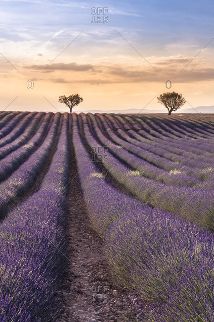 Lavender field at Valensole in the sunset, Provence, southern France