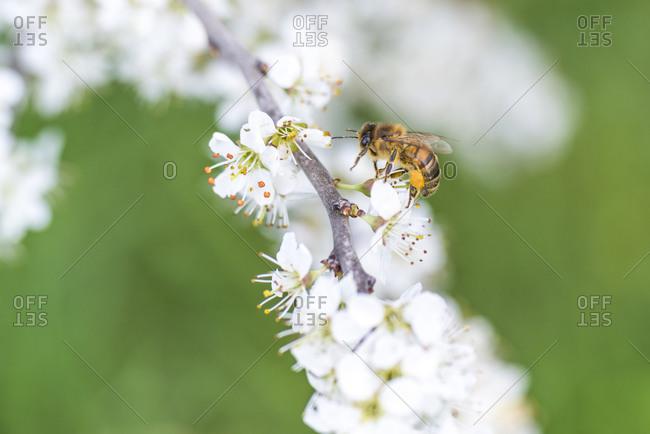 Spring, cherry blossom with honeybee
