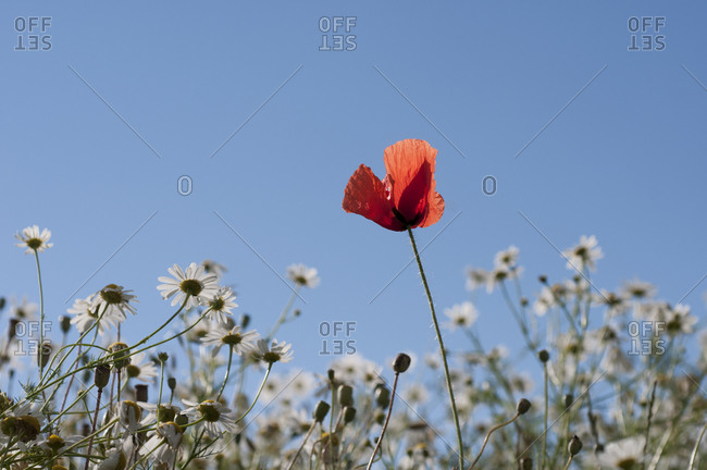 Red poppy under blue sky