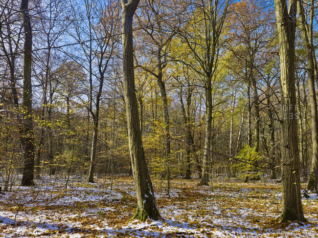First snow in autumn, Hainich National Park, Thuringia, Germany
