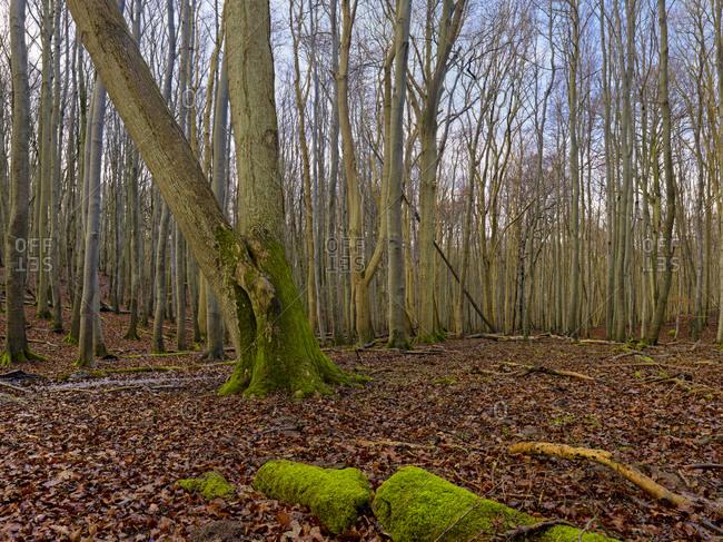 Buchenwald in Jasmund National Park, Ruegen Island, Mecklenburg-Vorpommern, Germany