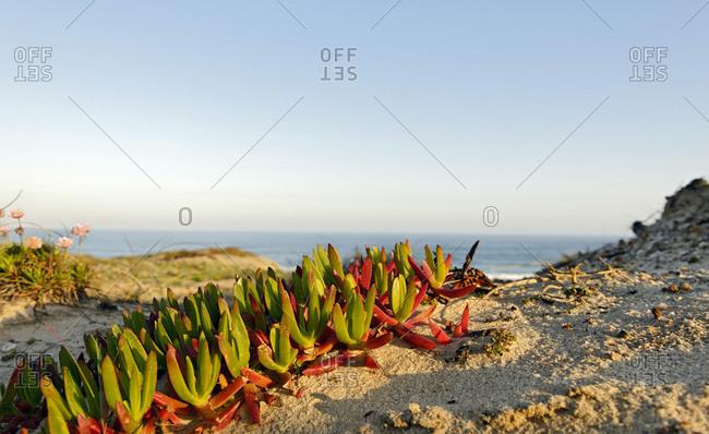 Vegetation in the dunes, Praia d'el Rey, Province of Obidos, Portugal