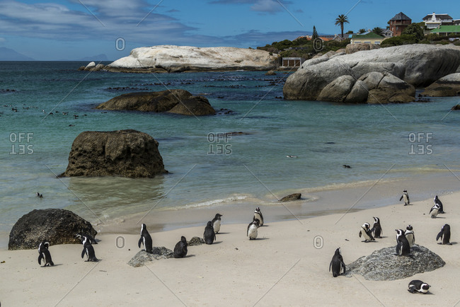 Colony of Spectacled Penguins, Boulders Beach, Simon's Town, South Africa