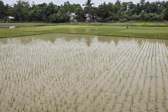 Bangladesh - April 30, 2013: Farmer working in a rice paddy field
