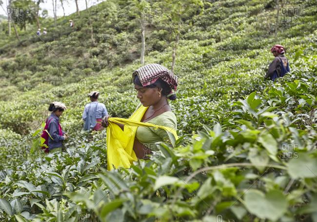 Sreemangal, Bangladesh - May 1, 2013: Woman picking up tea leaves on tea plantation near Sreemangal (Srimangal), Sylhet, Bangladesh