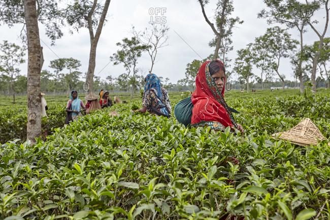 Sreemangal, Bangladesh - May 2, 2013: Women picking up tea leaves on tea plantation near Sreemangal (Srimangal), Sylhet, Bangladesh