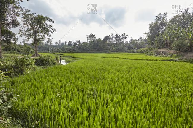 Garo tribal man working in a rice field not far from the Garo Line Para (Village), Sreemangal, Sylhet, Bangladesh