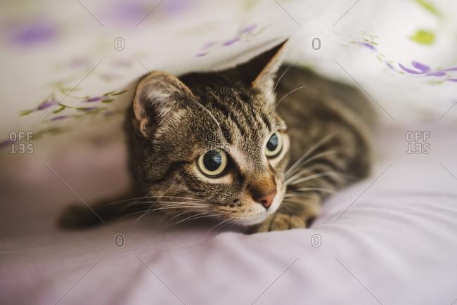 Portrait of tabby cat hiding under blanket