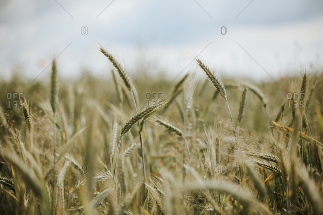 Wheat field on a bright sunny day