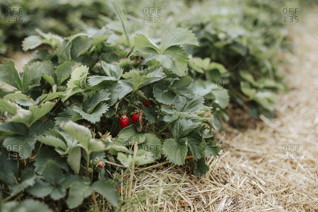 Close-up of strawberries on field