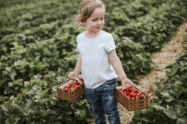 Girl picking ripe strawberries on field