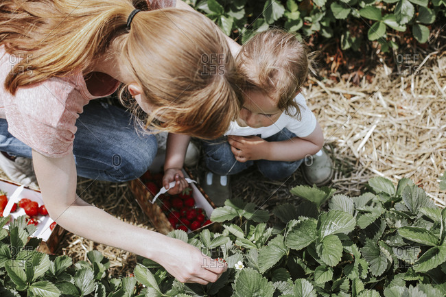Mother and daughter picking strawberries on field