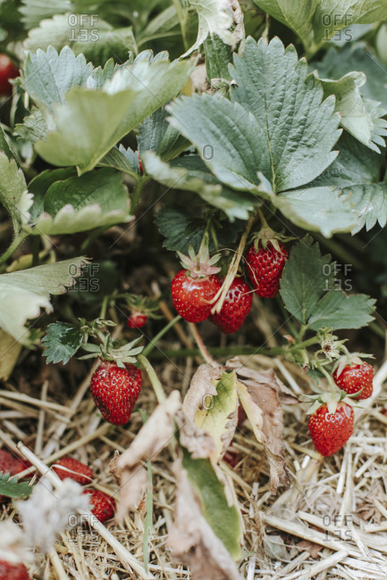 Overhead view of ripe strawberries on field