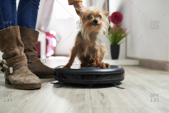 Woman placing Yorkshire terrier on robotic vacuum cleaner at home